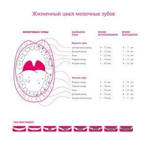 график прорезывания
