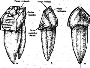 морфологические характеристики зуба