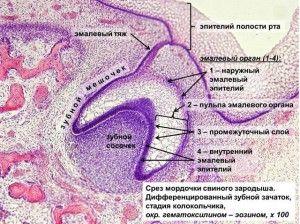 развитие ротовой полости