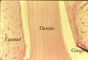 состав зуба