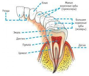 как называются зубы
