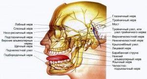 строение нервной системы лицевой области