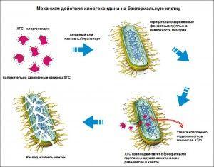 действие хлордексина на микроорганизмы