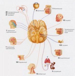 черепно-мозговые нервы и их функции