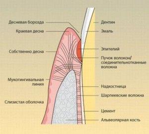 надкостница зуба