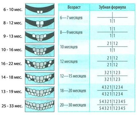 схема прорезываний зубов