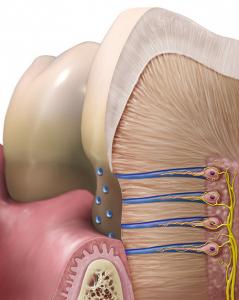 Открытые дентинные канальцы