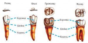 Как устроены наши зубы
